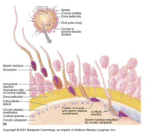 oocyte sperm
